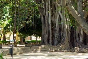 drzewa śródziemnomorskie